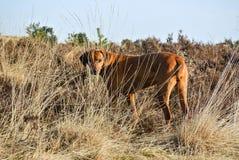Psi Rhodesian Ridgeback Chujący W Wysokiej trawie Obrazy Royalty Free