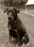 psi rocznik rottweilera Zdjęcia Stock