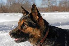 Psi ` s portret niemiecka baca zdjęcie stock