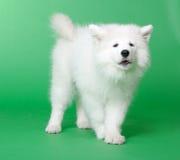 psi samoyed Zdjęcia Stock