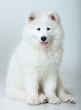 psi samoyed Fotografia Royalty Free