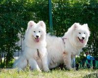 psi samoyed Zdjęcia Royalty Free