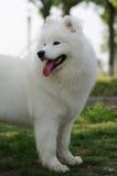 psi samoyed Zdjęcie Royalty Free