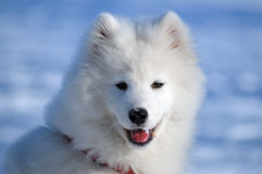 psi samoyed Obraz Royalty Free