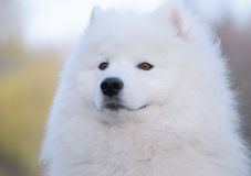 psi samoyed Obraz Stock