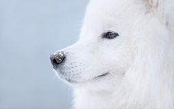 psi samoyed Fotografia Stock