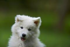 Psi Samoyed szczeniak Obrazy Royalty Free