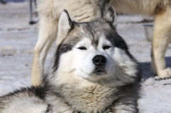 psi samoyede Zdjęcia Royalty Free