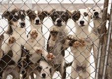 Psi sanie Szczeniaki Zdjęcia Royalty Free