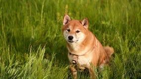 Psi Shiba Inu na łące zdjęcie wideo