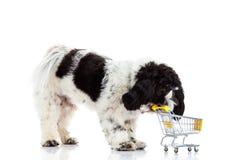 Psi Shih tzu z zakupy trolly odizolowywającym na białym tle Zdjęcia Stock