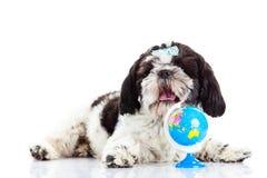 Psi Shihtzu odizolowywający na białej tła zwierzęcia domowego kuli ziemskiej Obrazy Royalty Free