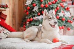 Psi siberian husky boże narodzenia i nowy rok Fotografia Stock