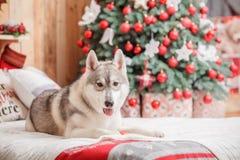 Psi siberian husky boże narodzenia i nowy rok Obraz Royalty Free