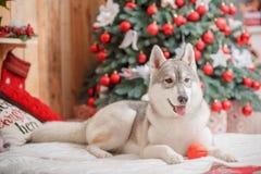 Psi siberian husky boże narodzenia i nowy rok Zdjęcie Royalty Free