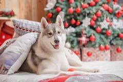 Psi siberian husky boże narodzenia i nowy rok Zdjęcia Royalty Free