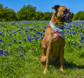 Psi siedzący w polu Bluebonnets samotnie Fotografia Stock