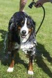 Psi skąpanie obraz royalty free