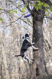 Psi skok łapać zabawkę obraz stock
