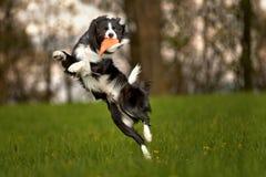 Psi skok obraz royalty free