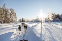 Psi sledding w Lapland Zdjęcia Stock