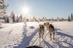 Psi sledding w Lapland Fotografia Royalty Free