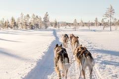 Psi sledding w Lapland fotografia stock