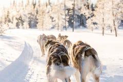 Psi sledding w Lapland Zdjęcie Stock