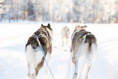 Psi sledding w Lapland Zdjęcia Royalty Free
