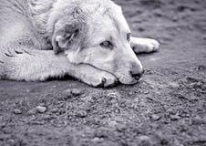 psi smutny Obrazy Stock