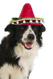 psi spanish obraz stock