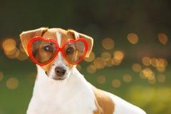 Psi sunning w szkłach, chujący oczy, miękka ostrość Zdjęcie Royalty Free