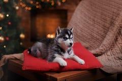 Psi Syberyjski husky, Śliczny mały siberian husky szczeniak Zdjęcie Royalty Free