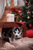 Psi Syberyjski husky, Śliczny mały siberian husky szczeniak Obrazy Stock