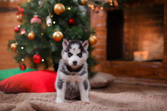 Psi Syberyjski husky, Śliczny mały siberian husky szczeniak Zdjęcia Stock