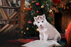 Psi Syberyjski husky, Śliczny mały siberian husky szczeniak Zdjęcie Stock