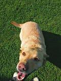 psi szczęśliwy Zdjęcia Royalty Free
