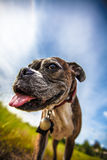 psi szczęśliwy Obrazy Royalty Free