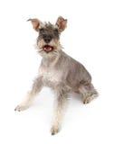 psi szczęśliwy miniaturowy schnauzer Zdjęcia Royalty Free