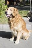 psi szczęśliwy Psów uśmiechy golden retrievera Pies złoty kolor Pies jest oddanym ludzkim przyjacielem Zdjęcia Royalty Free