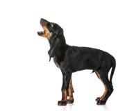 Psi szczekanie Obraz Stock