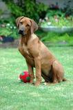 psi szczeniak Obrazy Royalty Free