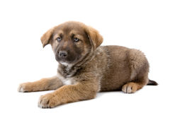 psi szczeniak Fotografia Stock