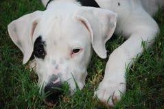 psi szczeniak Zdjęcie Royalty Free