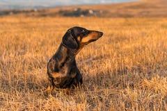 Psi szczeniak, trakenu jamnika czerni dębnik bawić się i chodzi na jesieni trawie w parku, fotografia stock