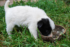 Psi szczeniaka łasowanie od pucharu zdjęcie stock