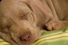 psi szczeniaka śpi Obrazy Royalty Free