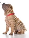 Psi szkolenie Fotografia Royalty Free