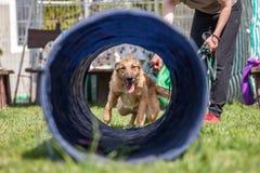 Psi szkolenie, szkoła dla psów obrazy royalty free