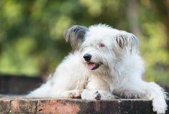 psi tajlandzki Obrazy Stock